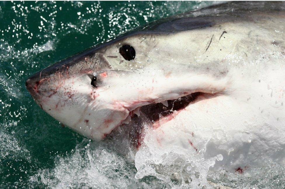 Florida Brings Massive Bull Shark, Are you in Danger?